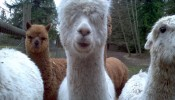 Alpacas at the market!